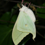 Rearing Indian Moon Moths (Actius selene)