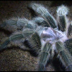 Tarantulas: How Dangerous Are They Really?