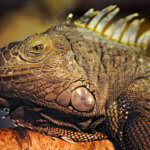 Differences In the Wild Habitats Of Green Iguanas And Spiny Tailed Iguanas