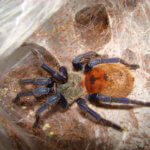 Chromatopelma cyaneopubescens - greenbottle blue tarantula