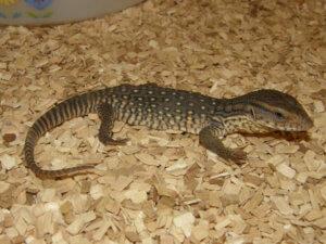 H P Reptiles Reptiles Good F...