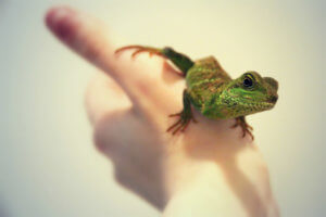 Reptiles Good For Handling Keeping Exotic Pets
