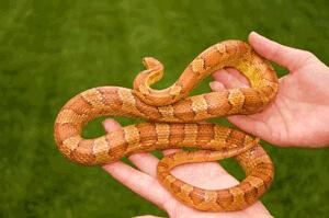 handling corn snakes