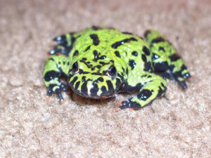 fire bellied toad tanks