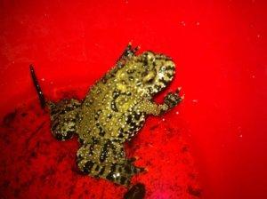 fire bellied toad vivariums