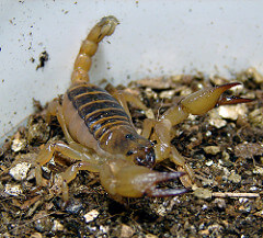 Scorpion on vermiculite substrate.