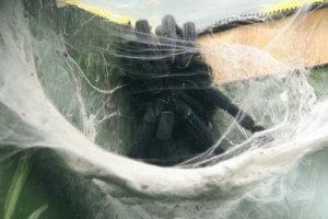 The secretive Cobalt Blue tarantula, hiding away in it's web.