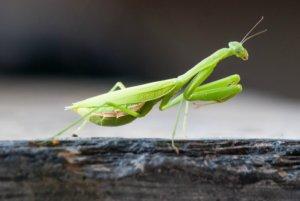 The African praying mantis - Sphodromantis