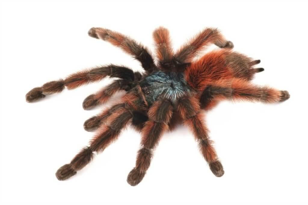 Tarantula Antilles Pinktoe (Avicularia versicolor), spider female