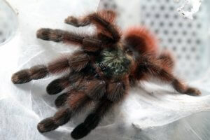 Avicularia versicolor - the Antilles Pink Toed Tarantula - surely one of the best-looking tarantulas of all?