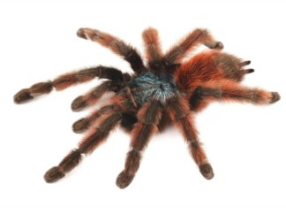 This is Aviculuria versicolor, the Antilles Pink Toe tarantula. Full care sheet is provided for this species.