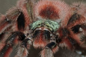 A stunning close-up of Avicularia versicolor showing it's metallic green carapace and plum-colored abdomen. A stunning tarantula.