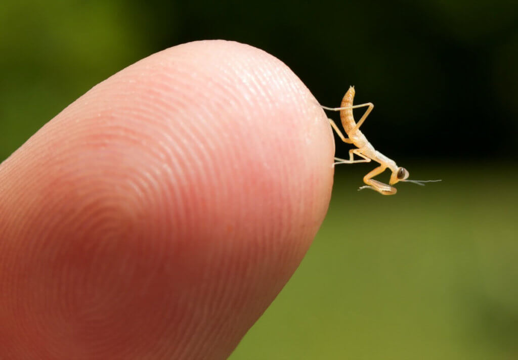 A tiny baby praying mantis, only recently hatched from it's egg case (ootheca).