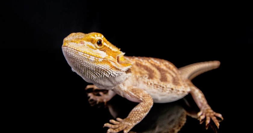 Bearded dragon diets - what insects will they eat and how often?