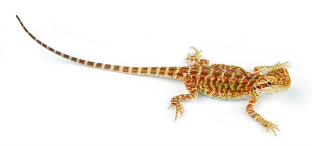 Juvenile bearded dragon.
