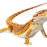 The bearded dragon - Pogona vitticeps