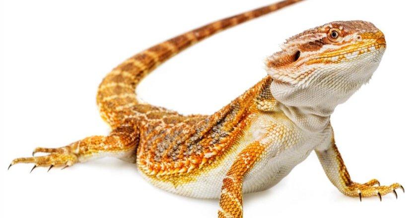 The bearded dragon - Pogona vitticeps