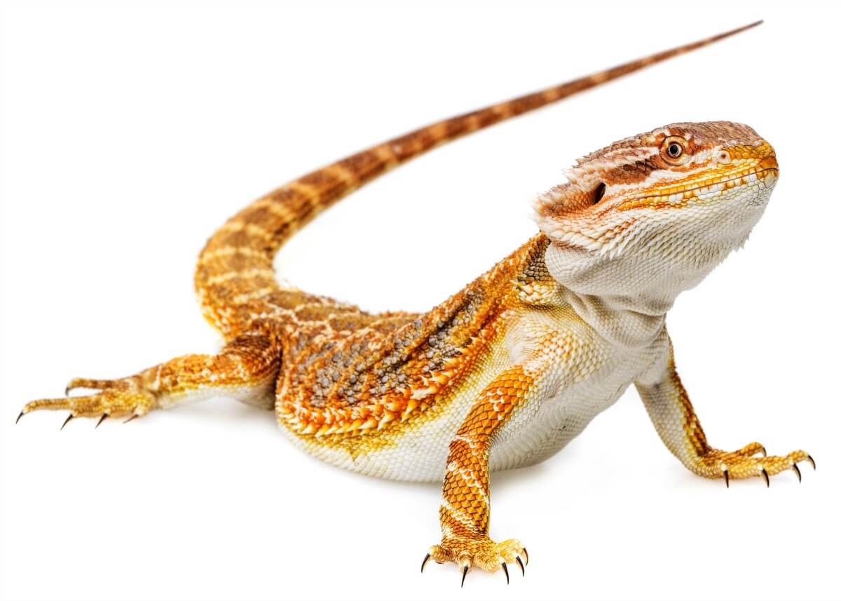 bearded dragon Bearded dragons (pogona vitticeps), also commonly referred to as beardies  are a very poplar species of reptile, especially among children this is in part due .