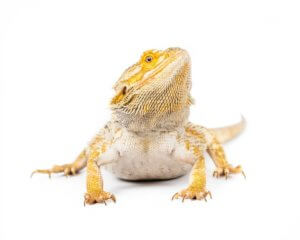 Generally A Rankins Dragon Requires Smaller Vivarium Than Bearded As An I Would Remend 30 Around The Size For One Although
