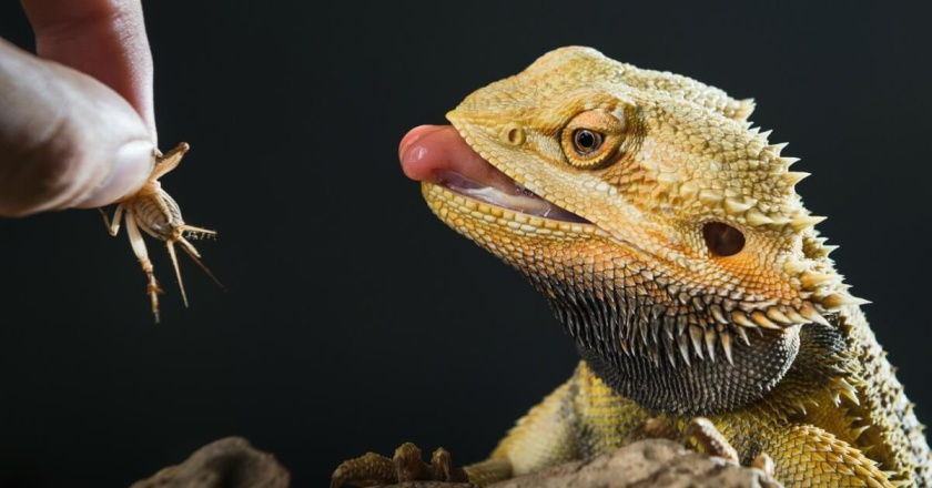 A bearded dragon eating insects.