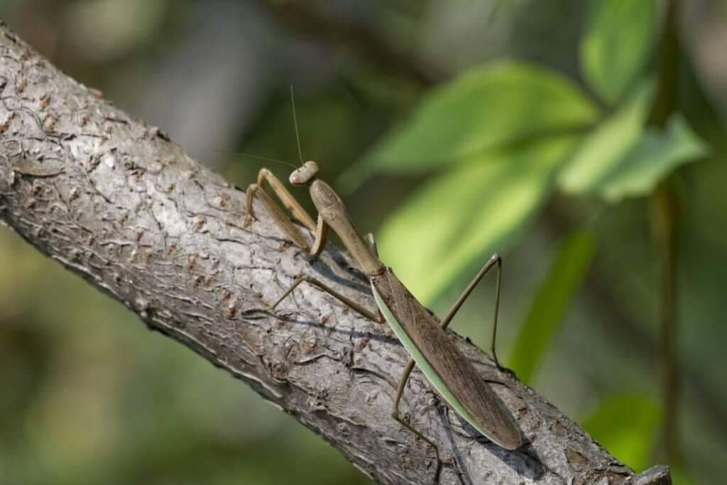 A Chinese praying mantis.