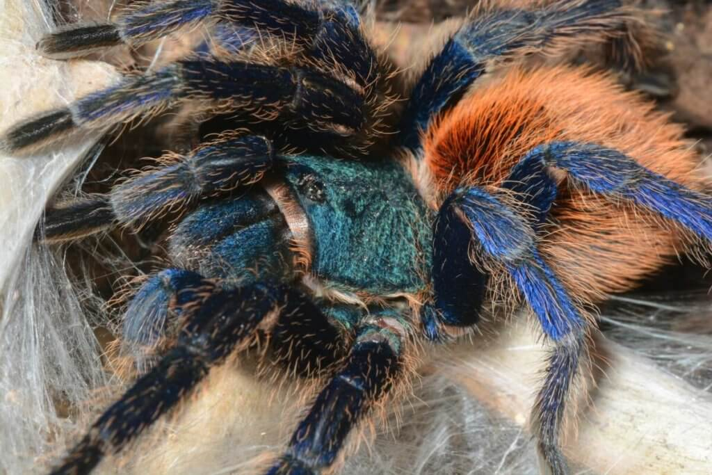 Close-up of a greenbottle tarantula (Chromatopelma cyaneopubescens)
