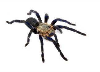 The stunning Cobalt Blue Tarantula is one of the worlds most attractive tarantulas. Full care guide provided.