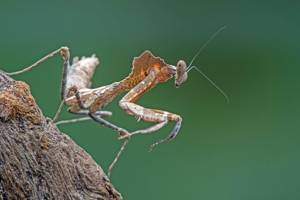 The stunning dead leaf mantis allows it to camouflage perfectly.