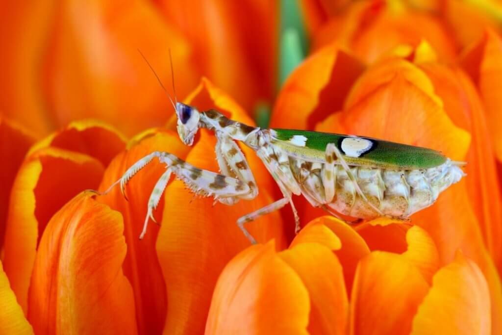 The flower mantis.