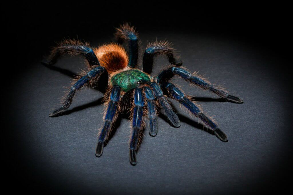 How to keep the green bottle blue tarantula (Chromatoplema cyaneopubescens) in captivity.