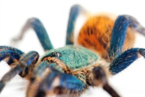 A close-up of the stunning green bottle blue tarantula.