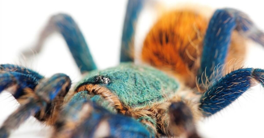 A close-up of the stunning green bottle blue tarantula.