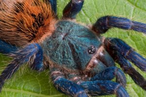 Greenbottle Blue / GBB (Chromatopelma cyaneopubescens ...