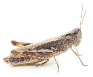 Locusts can make ideal food for praying mantis.