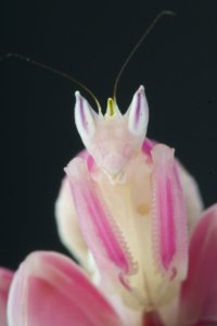 The Orchid mantis - surely the most incredible praying mantis species of all?
