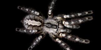 The Indian Ornamental tarantula.