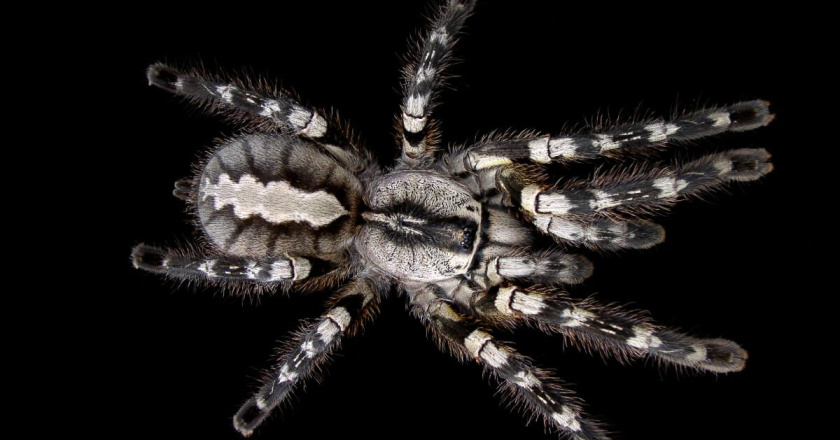 The Indian Ornamental tarantula.