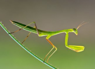 Keeping praying mantis as pets can be a highly rewarding experience. This complete guide to looking after praying mantis in captivity will teach you everything you need to know.