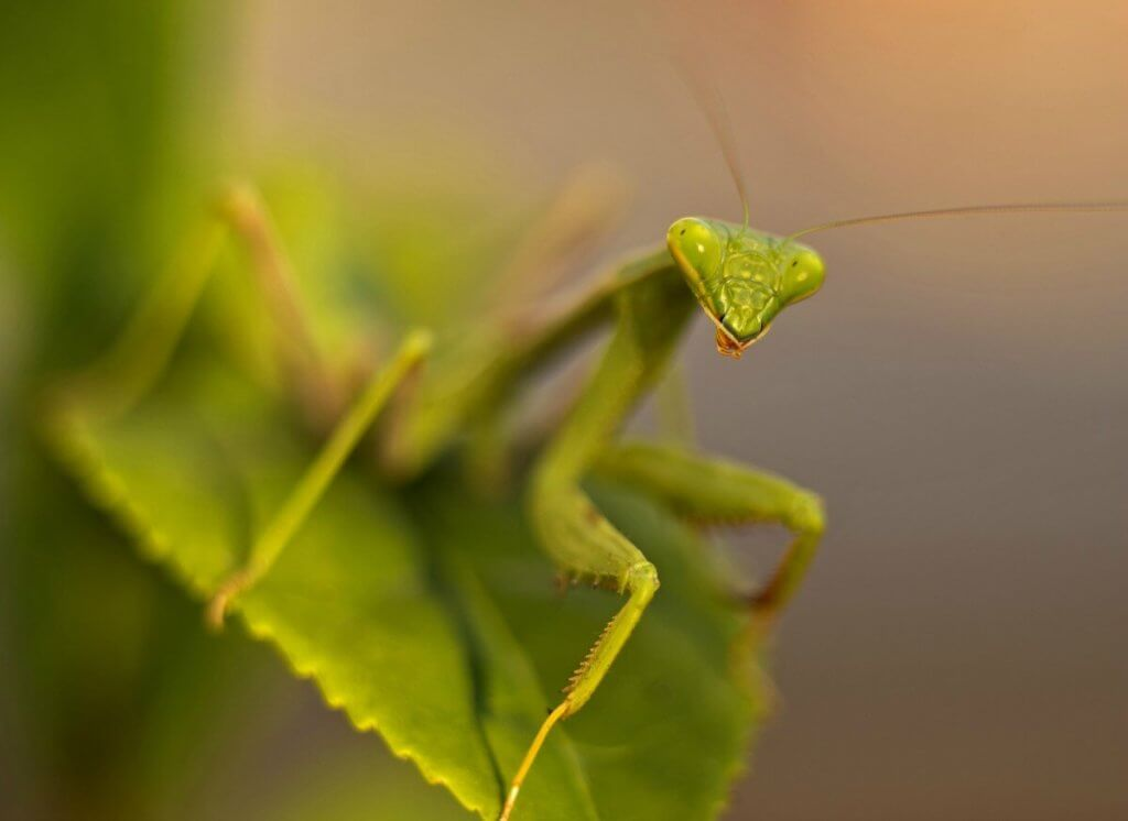 Praying mantis can make amazing pets for children or adults. This care guide shows yu exactly how to keep praying mantis as pets.
