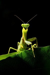 Stunning praying mantis from Thailand.