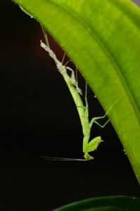 A moulting praying mantis.
