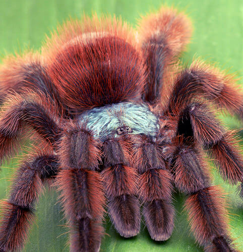 red tarantula photo