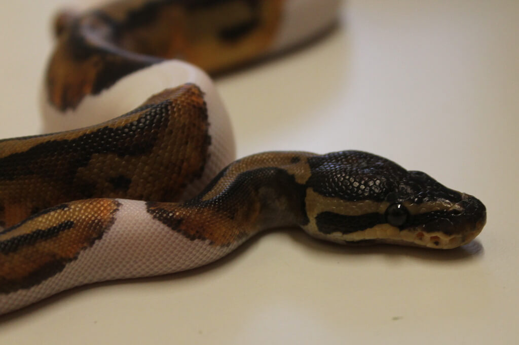 piebald ball python photo