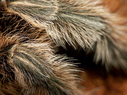 rose hair tarantula photo