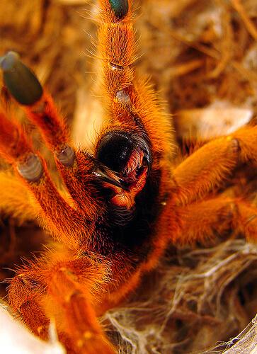 tarantula orange photo
