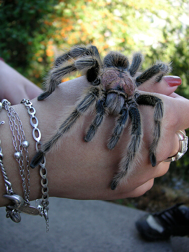 Chilean Rose Hair Tarantula Grammostola Rosea Care Sheet