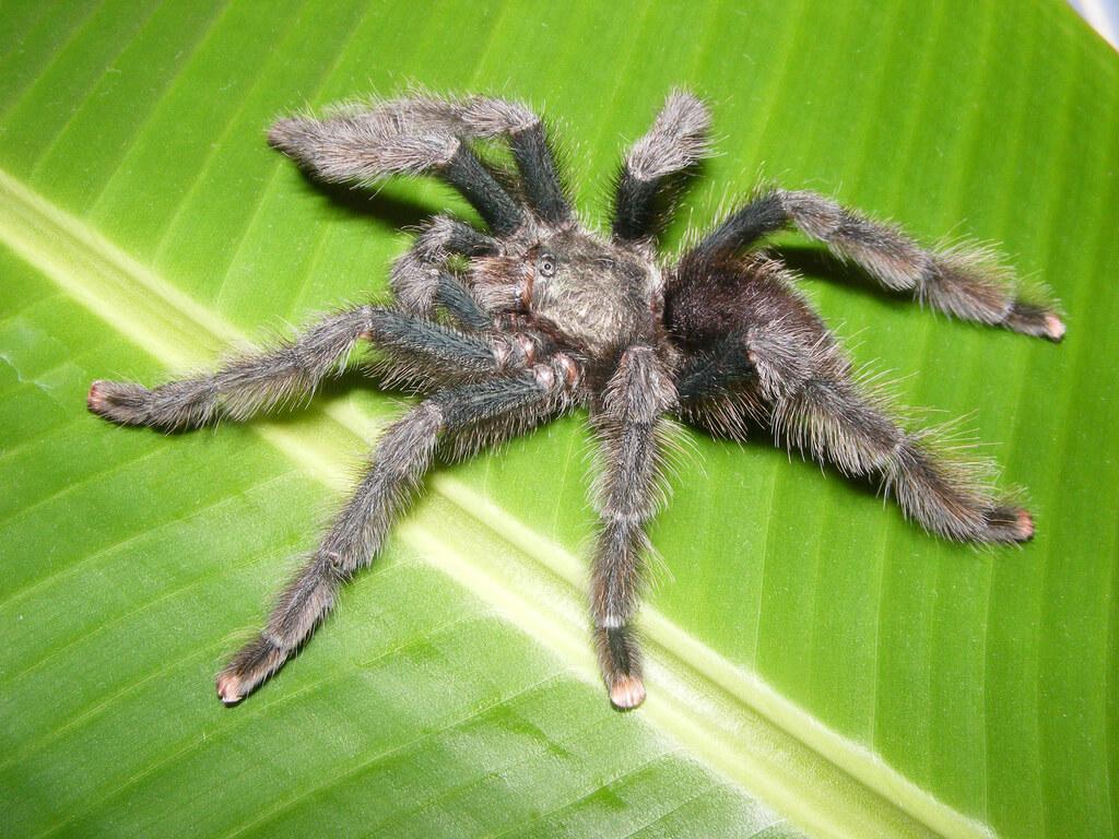 pink toe tarantula photo