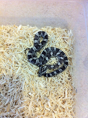 The 5 Best Small Pet Snakes (for Beginners)   Keeping Exotic