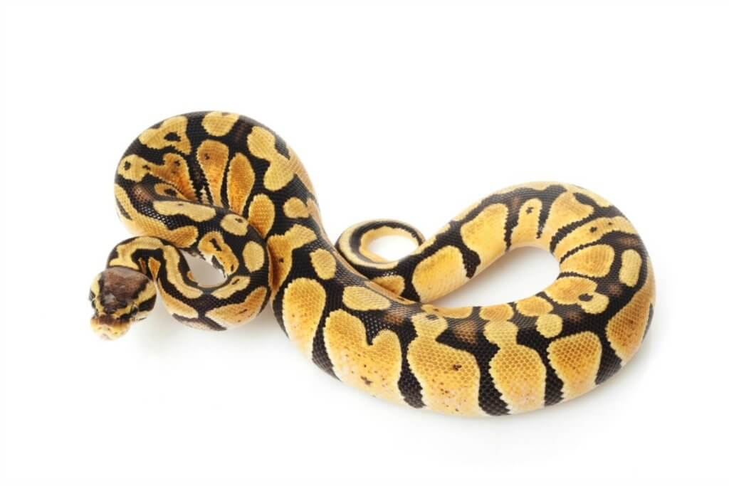 The ball python - a perfect pet snake for beginners.