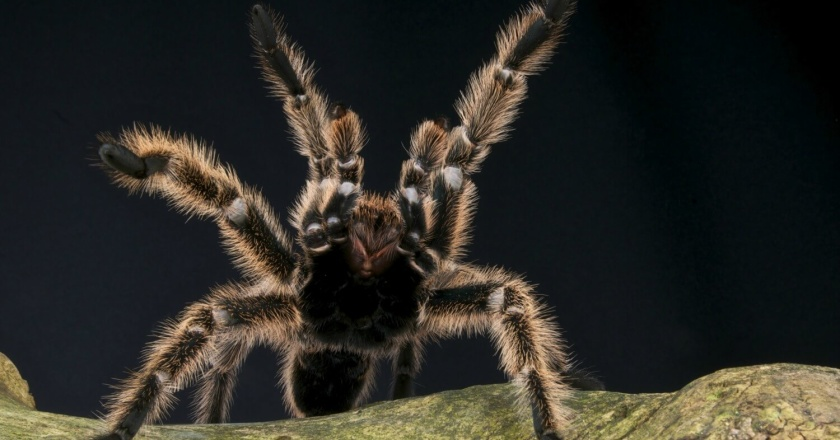 What are the best beginner tarantulas? Read on for a detailed list of the top tarantula types if you're new to the hobby...